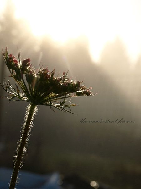 Sunbeams flower lace