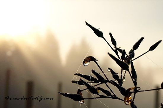 Dew drops weed mist