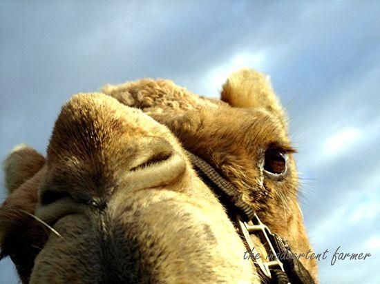 Garden day gizmo camel