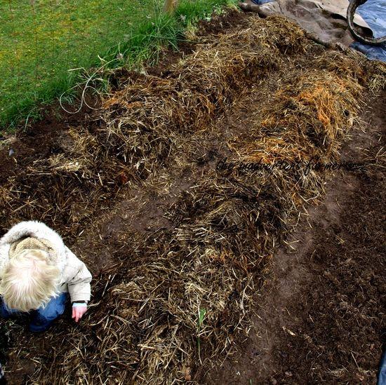 Planting potatos5
