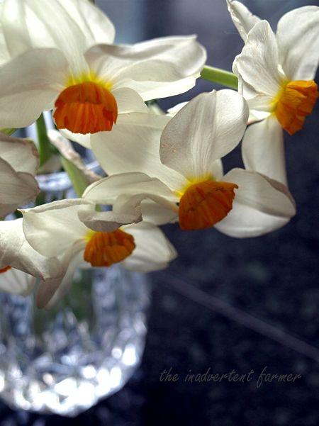 Vase of daffodils3