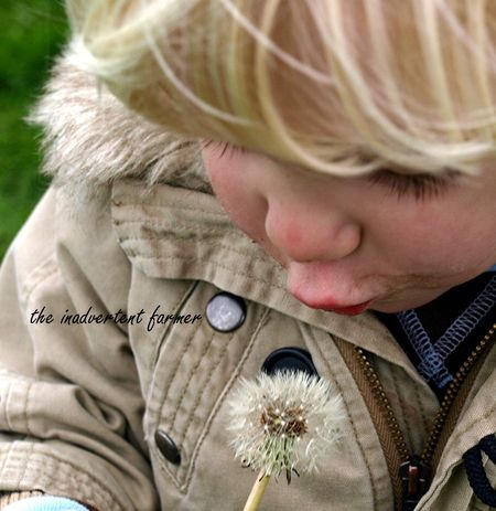 Dandelion seed head boy blow