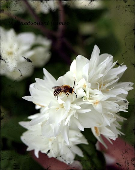 Bee white flower2