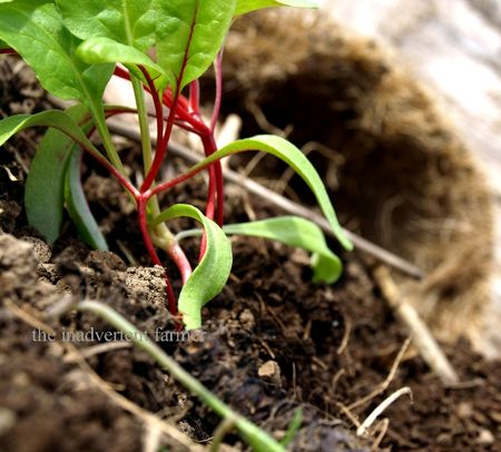 Chard red seedling