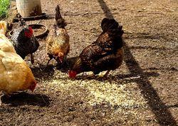 Chicken yard corn feed