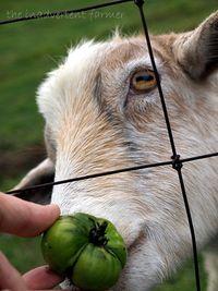 Goat tomato