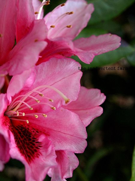 Rhododendron tropical pink flowers