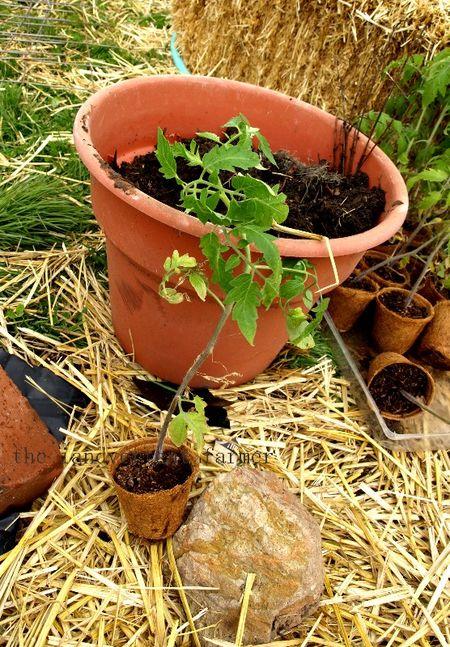 Tomato patch plant