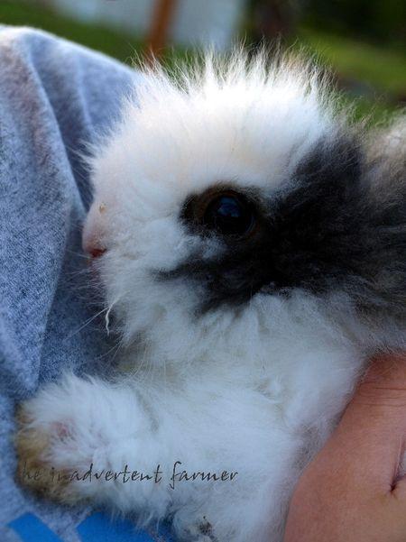 Ollie baby lionhead rabbit