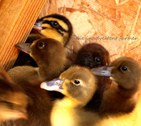 Ducklings bunch house