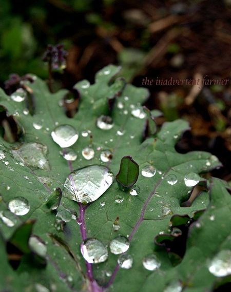 Raindrops on kale purple