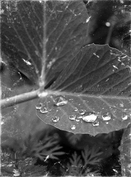 Raindrops on peas black white antique