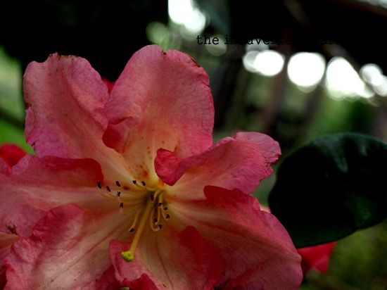 Rhododendron flower peach