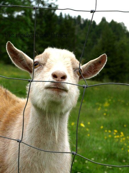 Goat pygmy fluffy