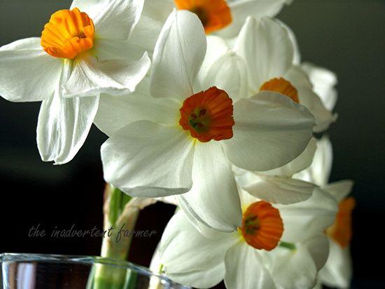 Vase of daffodils2