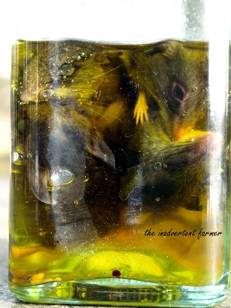 Mice in olive oil2