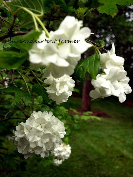 Snowball spring white
