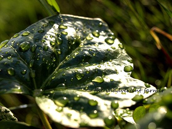 Ivy raindrops