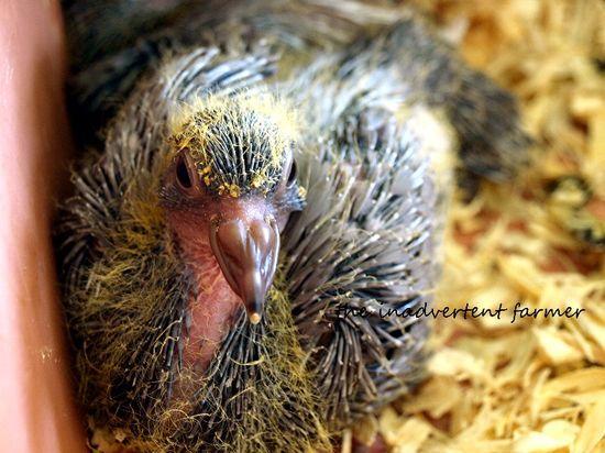 Pigeon baby1