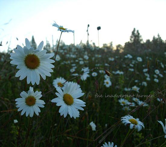 Daisy glow sunrise glisten3