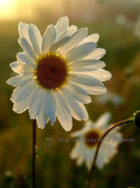 Daisy glow sunrise glisten backlit 4