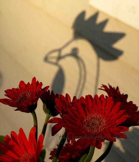 Rooster shadow gerbera daisies