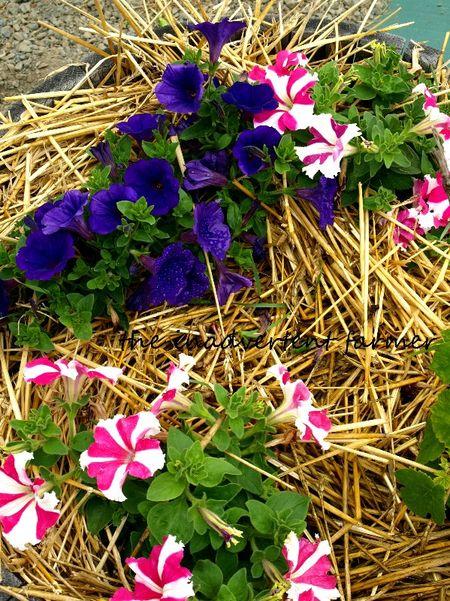 Petunia purple pink white striped