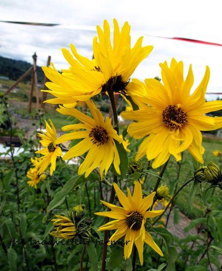Maximillian sunflower yellow summer bunch