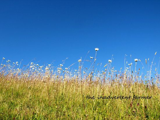 Field of daisies blue sky