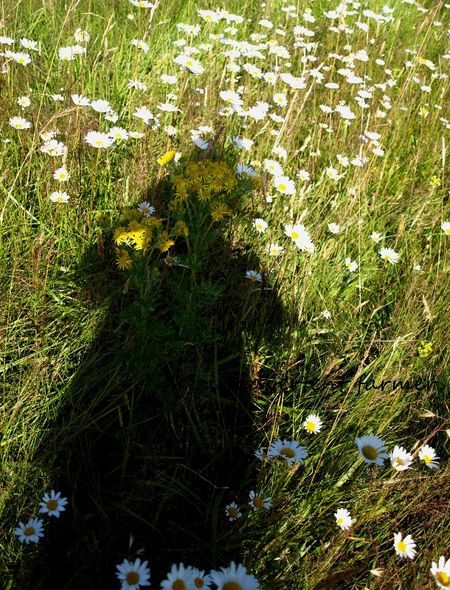 Field of daisies shadow