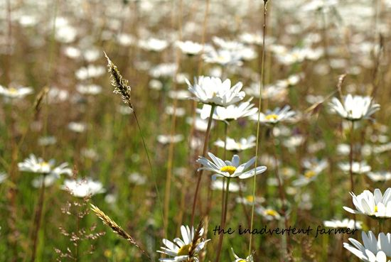 Field of daisies grass