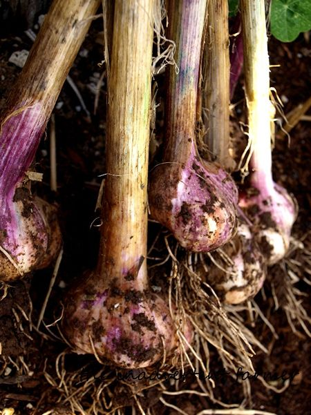 Garlic early purple