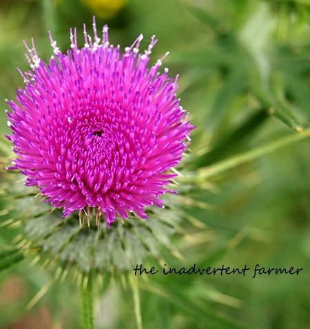 Thistle canadian pink