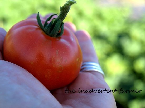 Tomato in hand garden