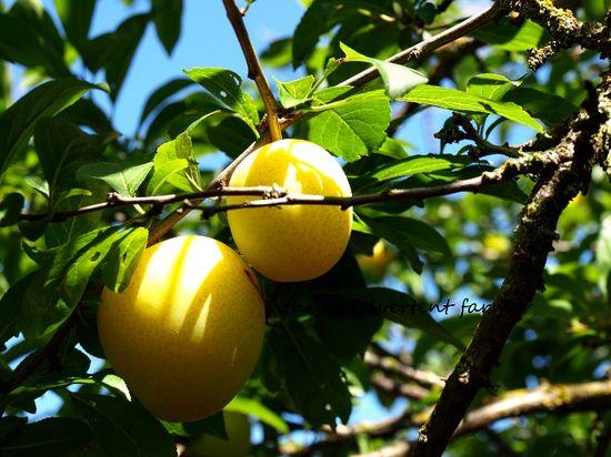 Yellow plum tree