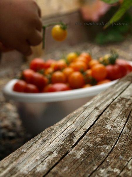Tomato napper2