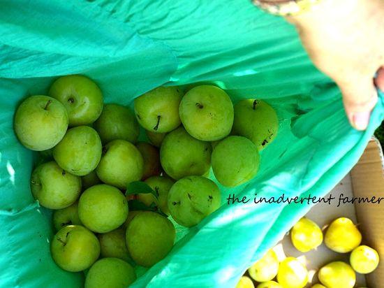 Yellow plum picking skirt