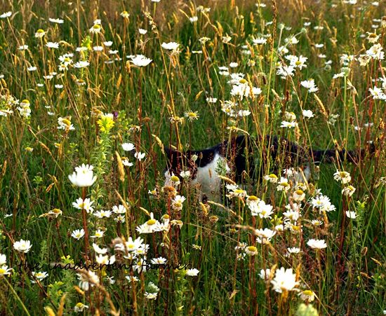 Farm cat chester field daises