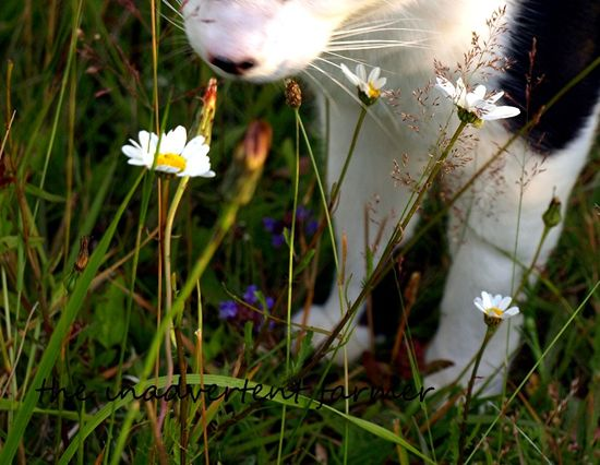 Farm cat daisy