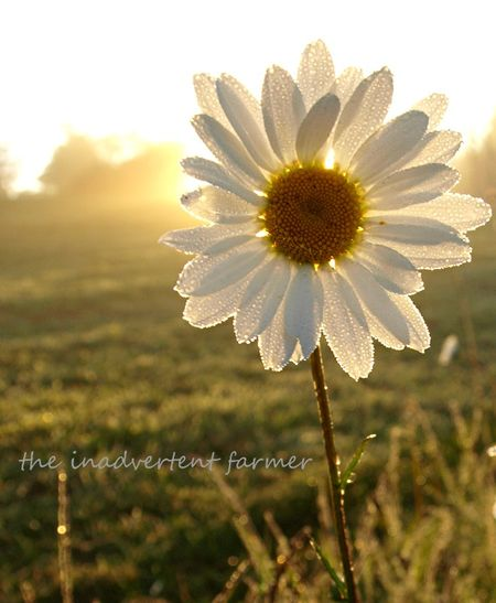Daisy glow sunrise glisten backlit2