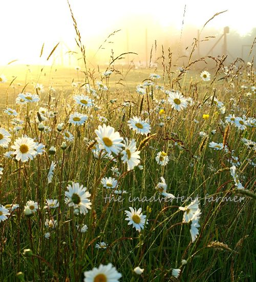 Daisy glow sunrise glisten backlit field