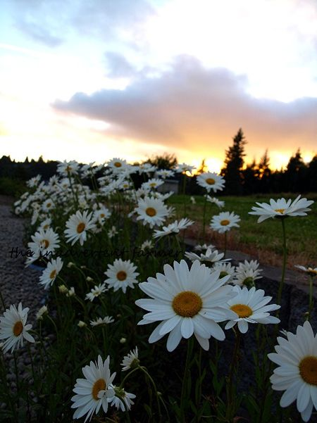 Daisies at sundown shasta