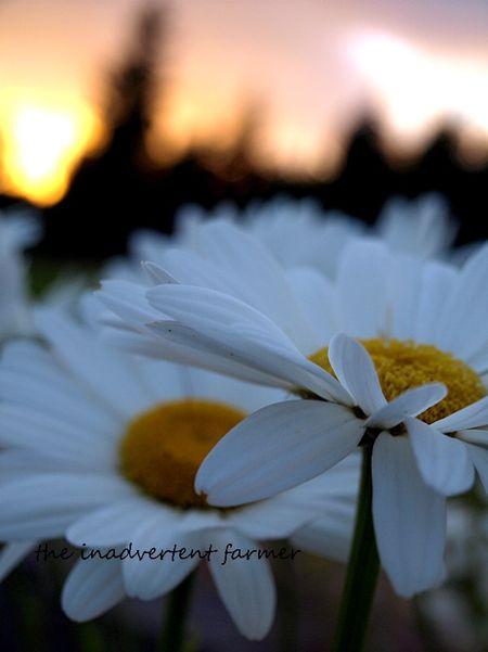 Daisies sunset shasta garden