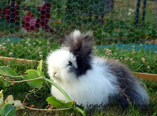 Lionhead rabbit long hair white gray
