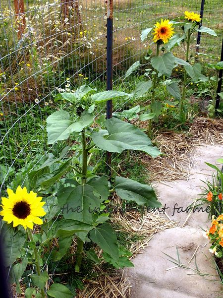 Maze children's garden sunflowers