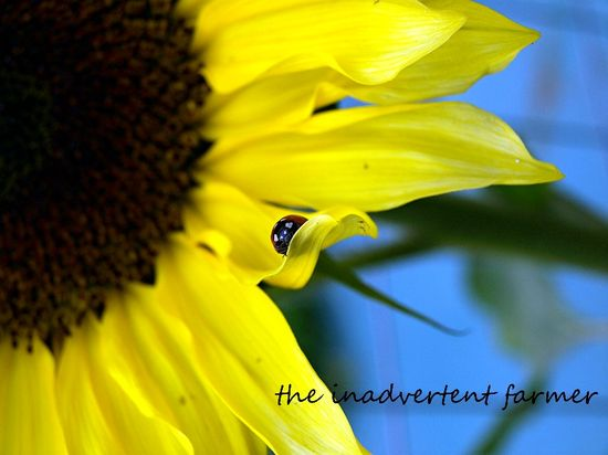 Sunflower with lady bug beetle red yellow