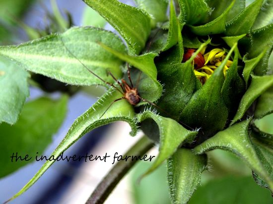 Sunflower spider lady bug beetle