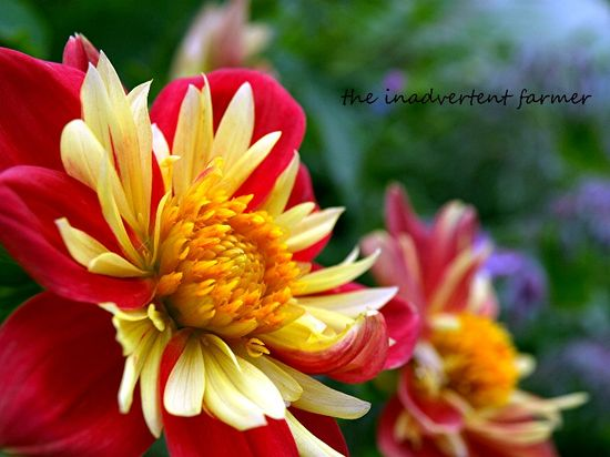 Flower mum red yellow macro