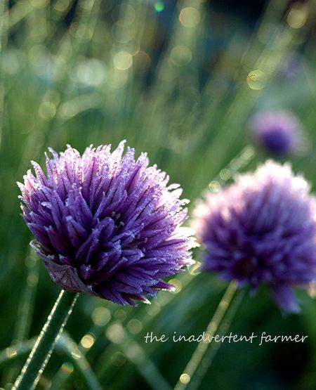 Sunrise chives sparkle purple