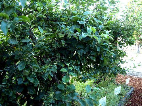 Master gardener espliered apple belgium fence
